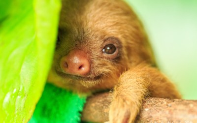 Northern Costa Rica-Monkeys and baby sloths!